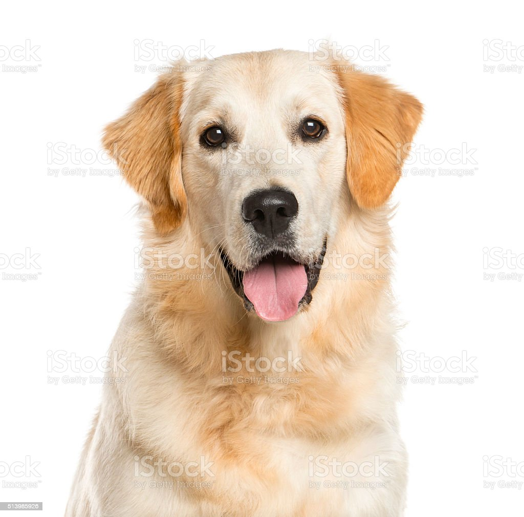 Close-up of a Golden Retriever stock photo