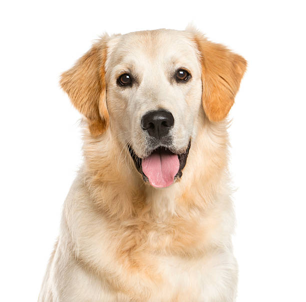 Close-up of a Golden Retriever Close-up of a Golden Retriever in front of a white background retriever stock pictures, royalty-free photos & images
