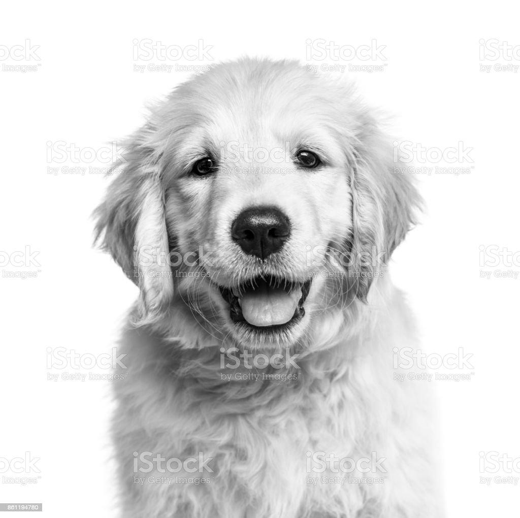 Fotografia De Primer Plano De Un Cachorro De Golden Retriever En
