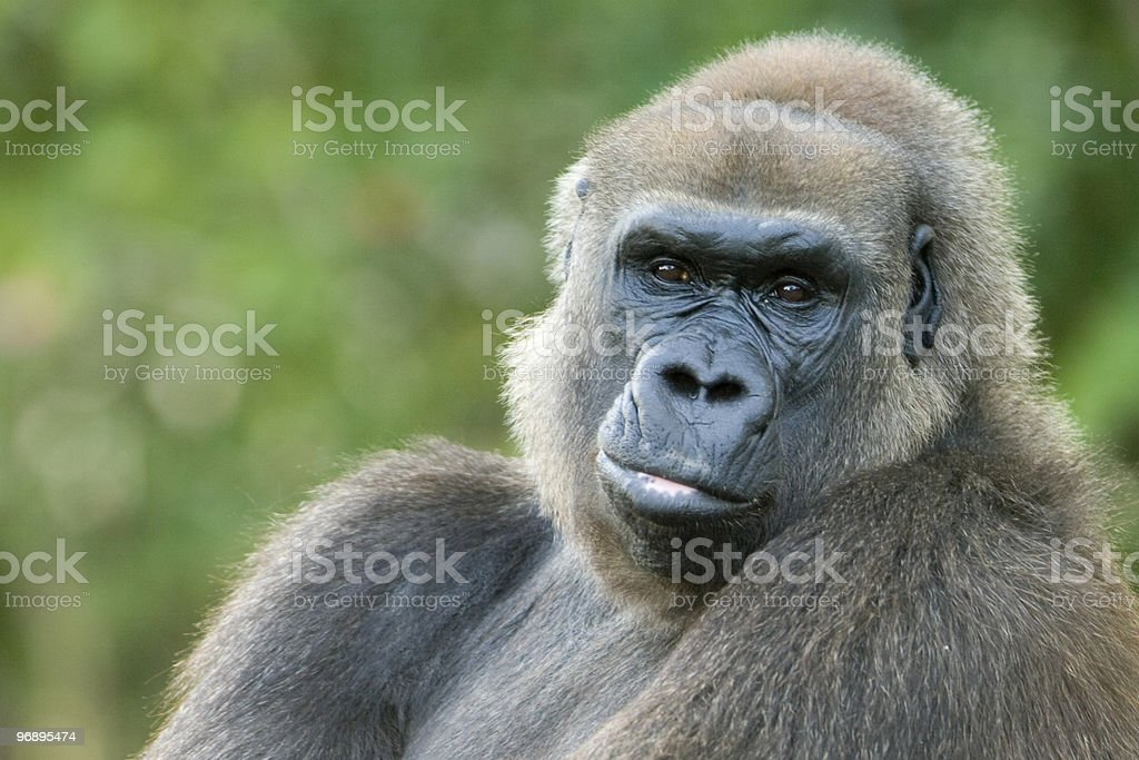 Close-up of a gorilla royalty-free stock photo