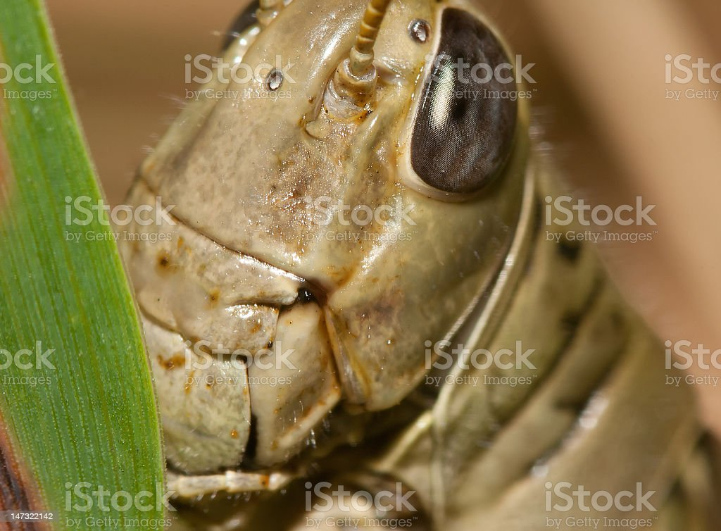 Close-up of a Grasshopper royalty-free stock photo