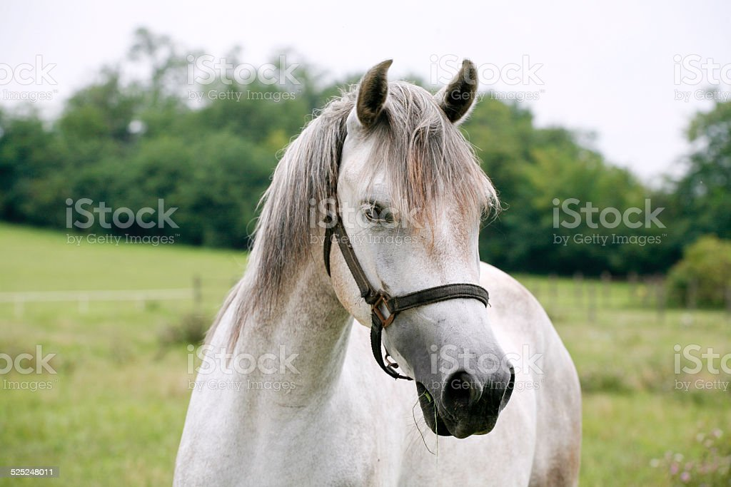 Close-up of a gray youngster in summer paddock stock photo