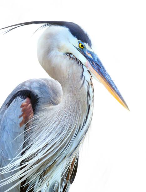 büyük mavi balıkçıl beyaz arka plan üzerinde closeup - balıkçıl stok fotoğraflar ve resimler