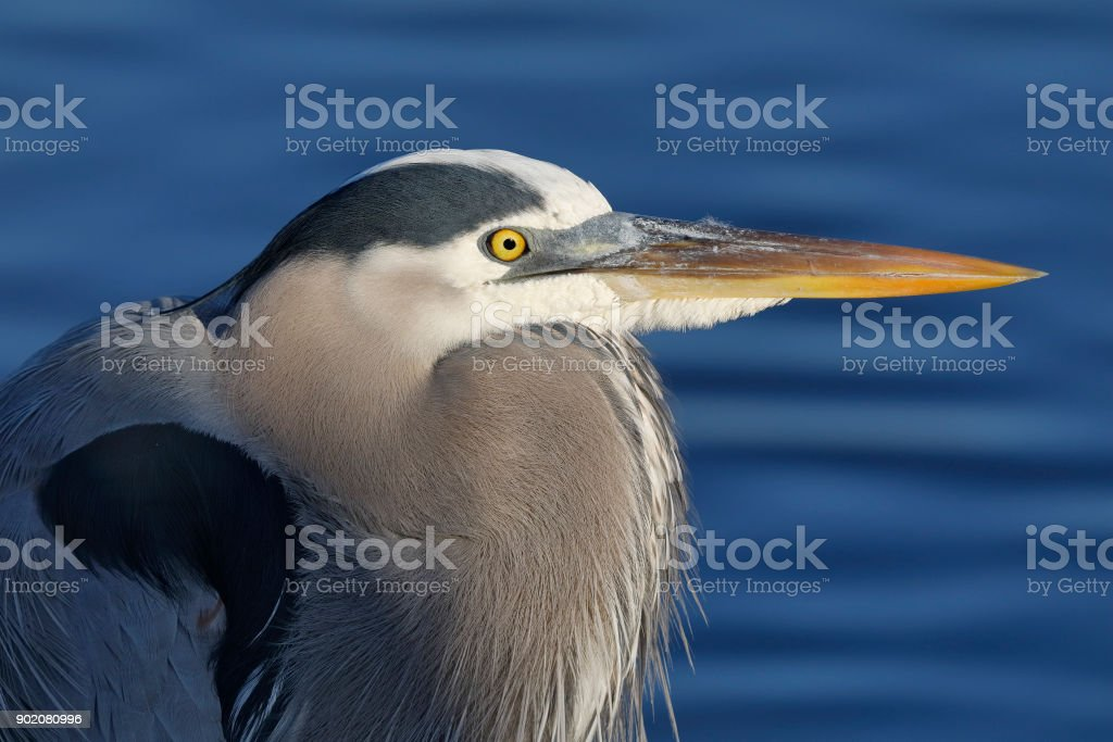 Closeup of a Great Blue Heron stock photo
