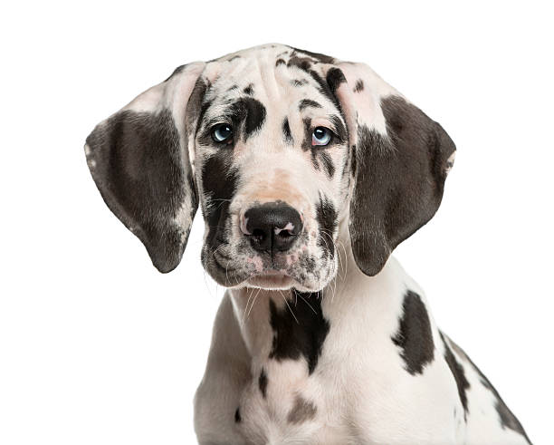 Close-up of a Great Dane puppy stock photo