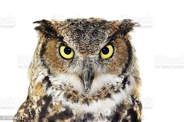 Closeup of a great horned owl on white picture id517201551?b=1&k=6&m=517201551&s=612x612&h=yc3i7ovycf7pgwdut40m7faycbcox6aikpj5o4k42ne=