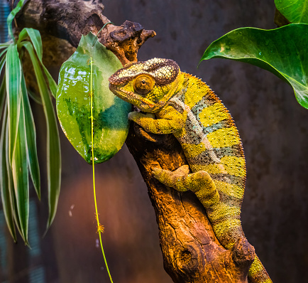 closeup of a green and black banded panther chameleon, colorful tropical lizard from madagascar, popular exotic and colorful pet