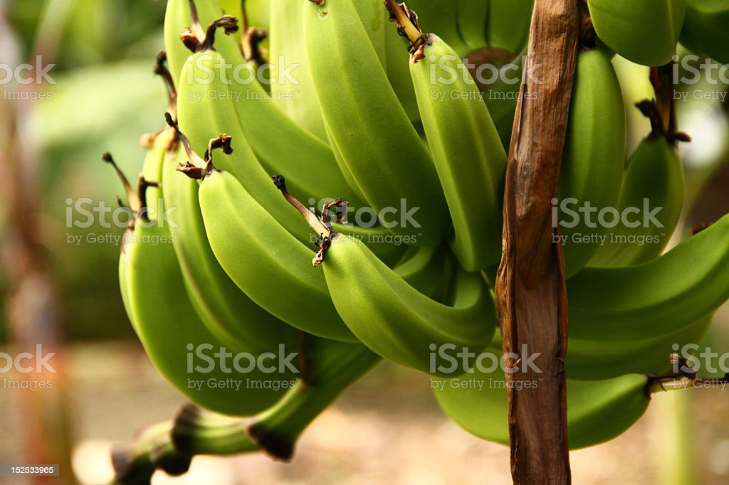 Closeup of a green banana bunch in a plantation stock photo