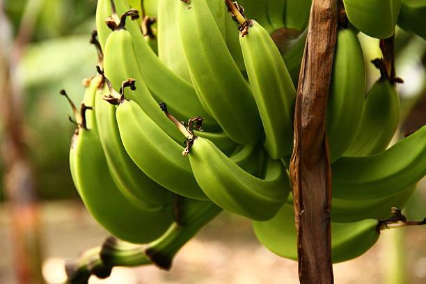 바나나 번치 - 플렌틴 바나나 뉴스 사진 이미지