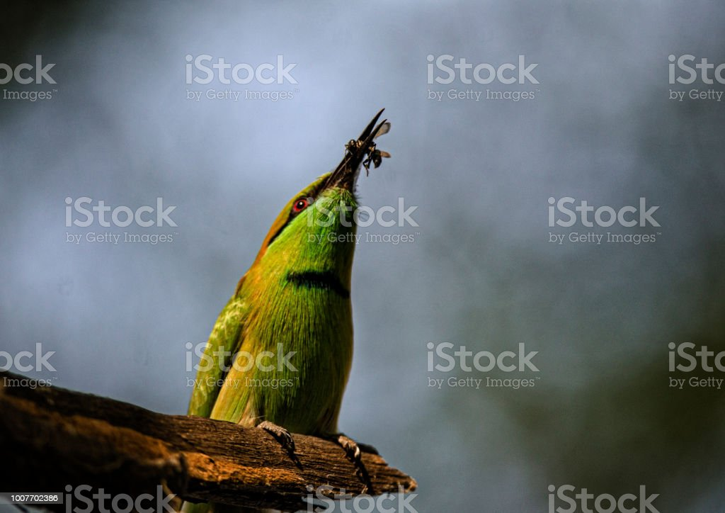 Close-up  of a Green Bee-Eater with its catch in Thol Sanctuary,Ahmedabad, Gujarat. stock photo