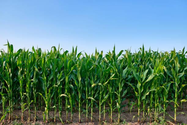 closeup of a green cornfield with maize against blue sky - milho imagens e fotografias de stock