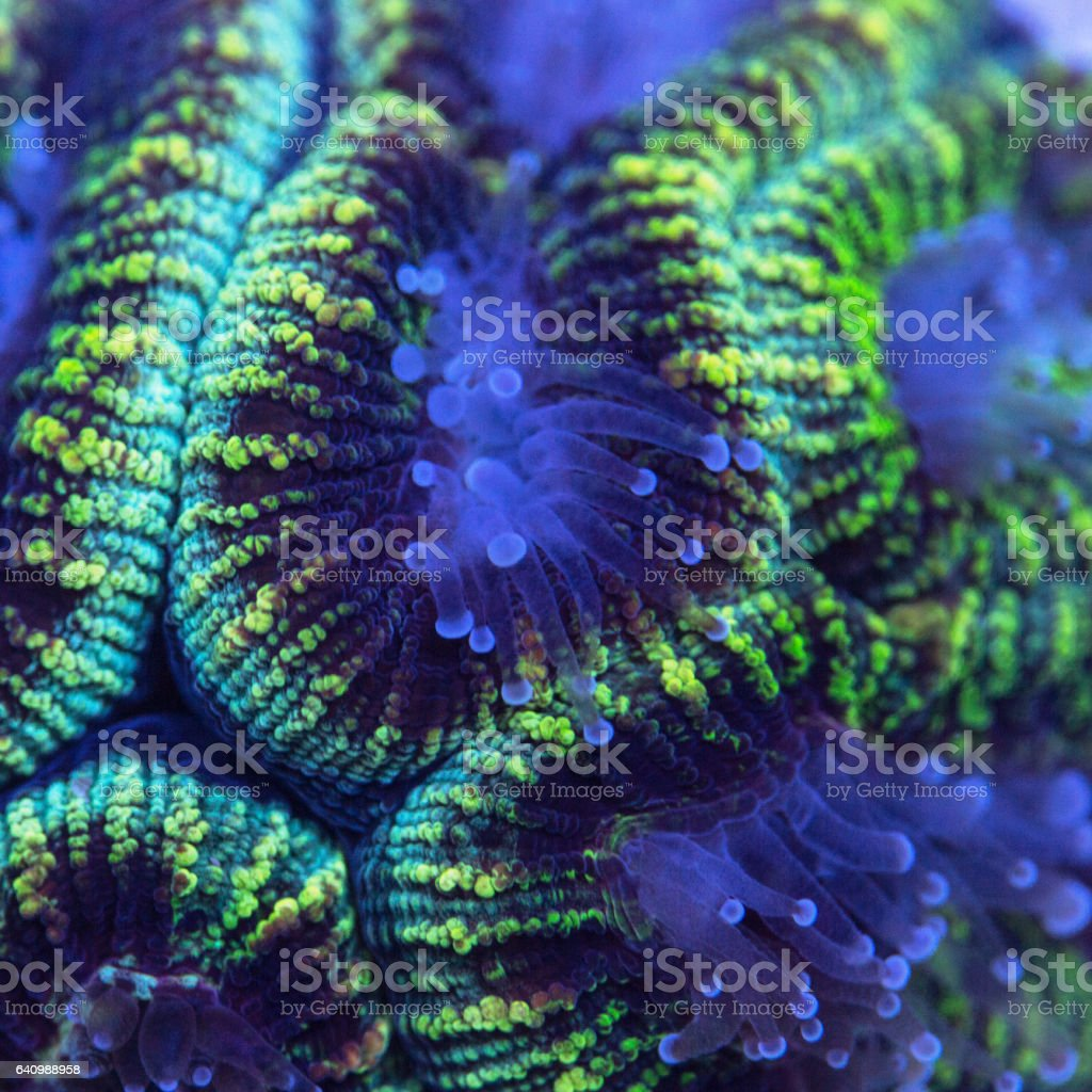 Closeup of a green Favia coral with extended polyps. stock photo
