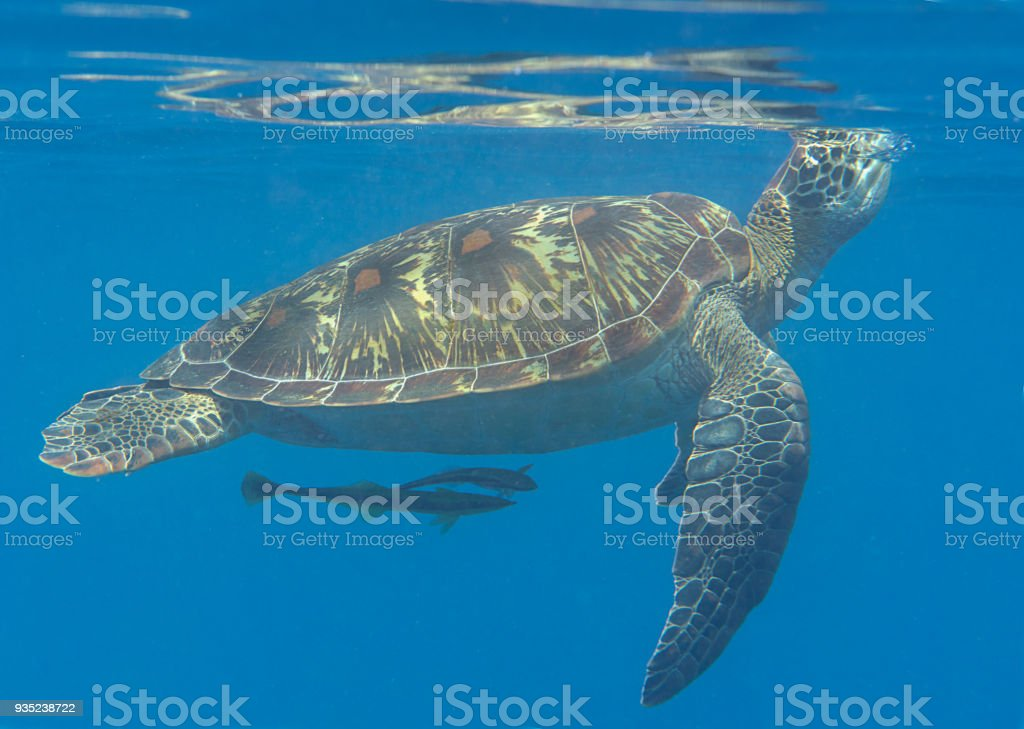 Closeup of a Green sea turtle Chelonia mydas and remora fish swimming to the surface to breath air stock photo