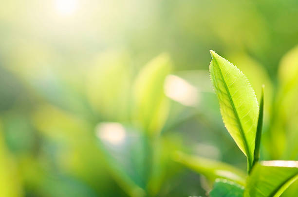 Close-up of a green tea plant's leaf stock photo