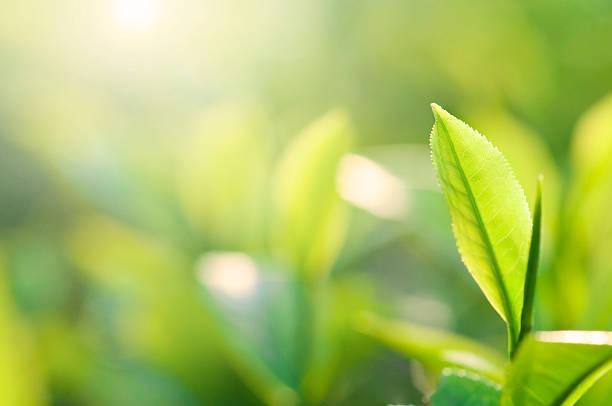 Chá verde - foto de acervo