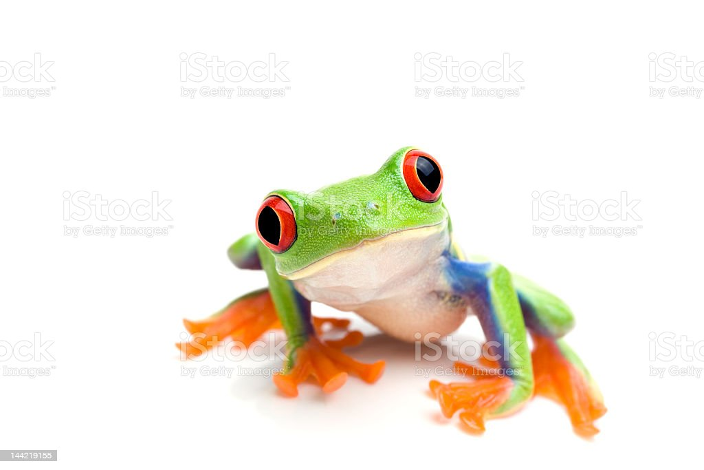 Close-up of a green tree frog on a white background stock photo