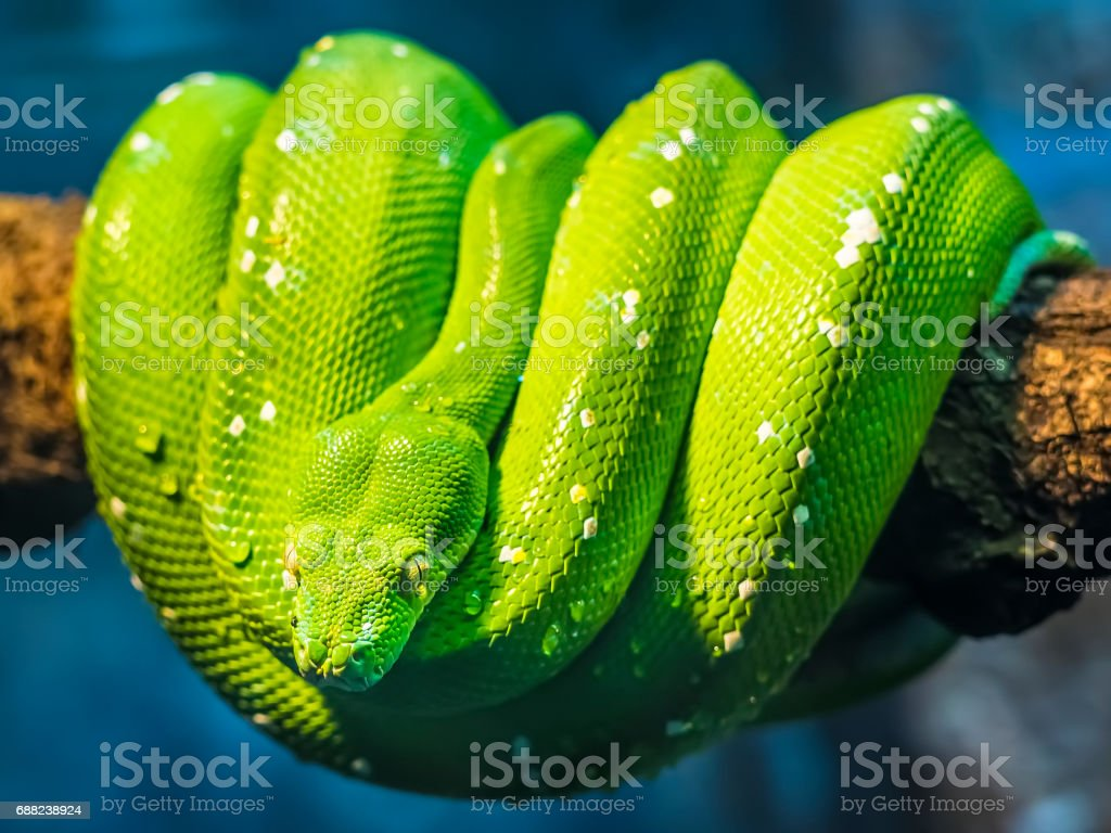 Close-Up of a Green Tree Python snake stock photo