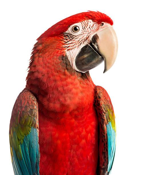 close-up de uma arara vermelha, ara chloropterus - arara vermelha retrato - fotografias e filmes do acervo