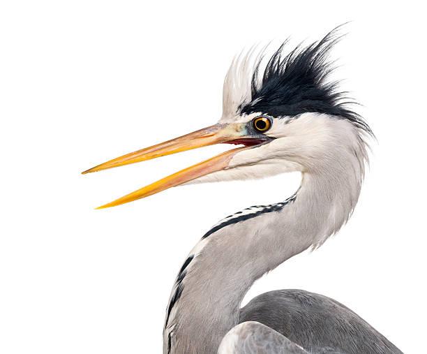 close-up of a grey heron's profile, beak opened, ardea cinerea - balıkçıl stok fotoğraflar ve resimler