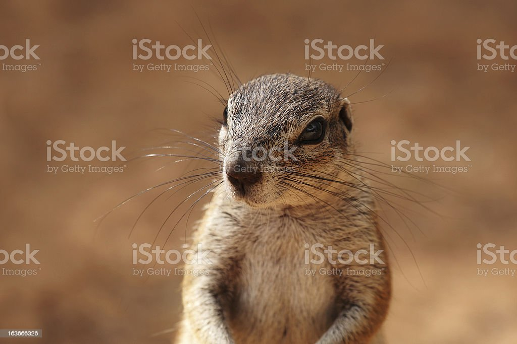 Close-up of a ground squirrel royalty-free stock photo