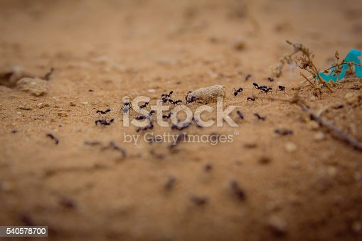 485413653istockphoto Closeup of a group of black ants walking on dirt 540578700
