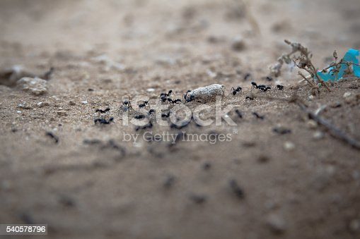 485413653istockphoto Closeup of a group of black ants walking on dirt 540578796