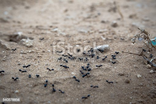 485413653istockphoto Closeup of a group of black ants walking on dirt 540578856