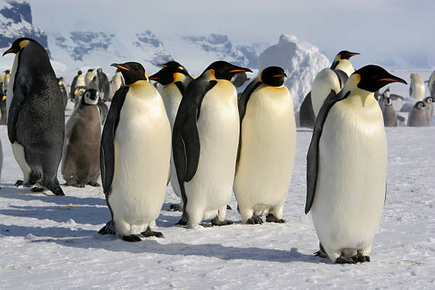 Close-up of a group of cute Emperor penguins resting on ice Colony of Coulman Island emperor penguin stock pictures, royalty-free photos & images