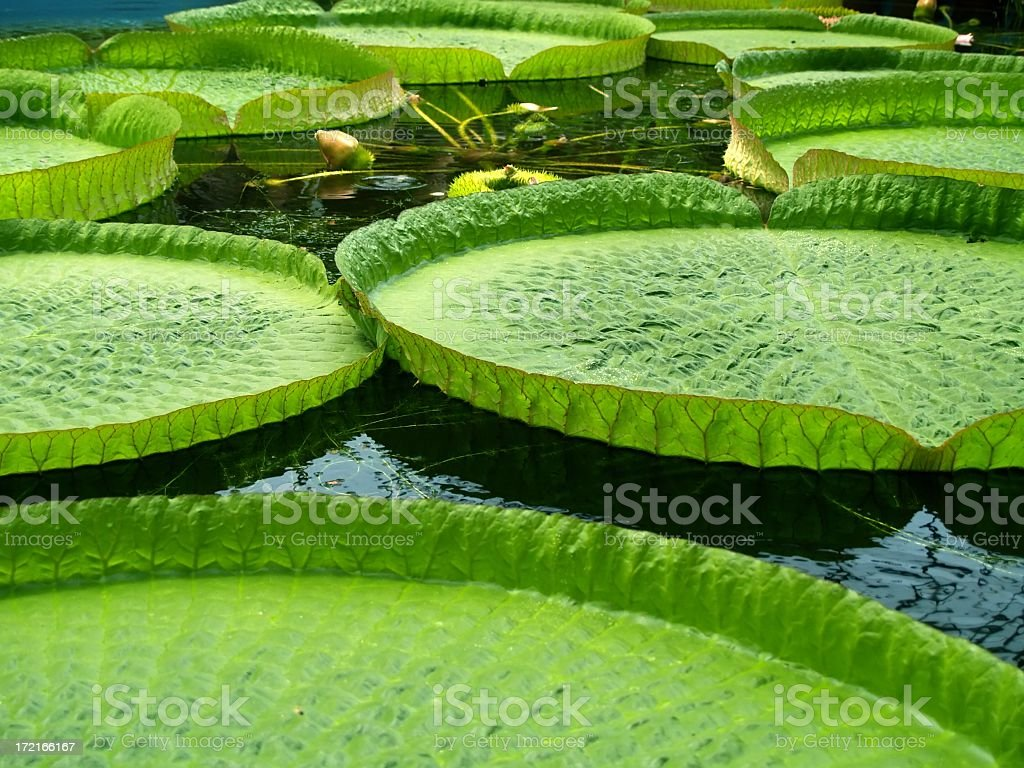 Closeup of a group of giant water lilies stock photo
