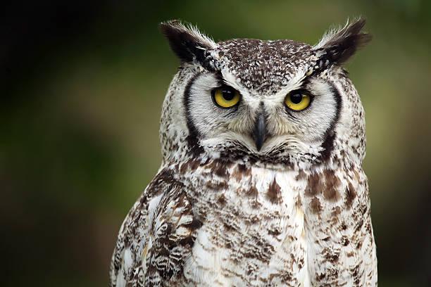 Closeup of a grumpy looking owl picture id146730527?b=1&k=6&m=146730527&s=612x612&w=0&h= b0wlwsaq 6vej rgcgnpn4 gzttyrrrpnx xp8px1w=