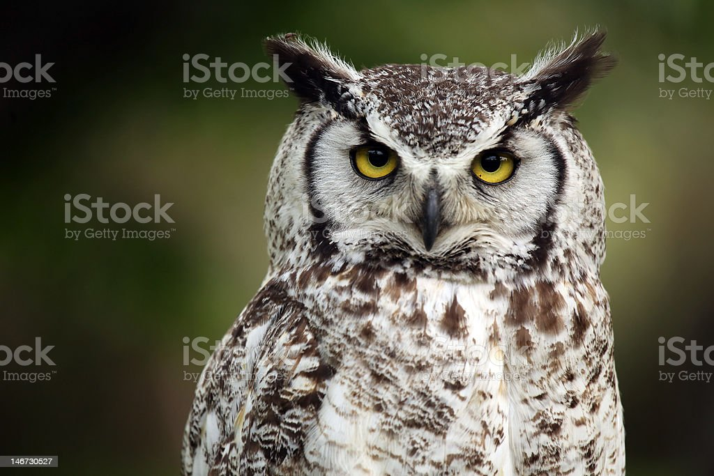 Closeup of a grumpy looking owl stock photo