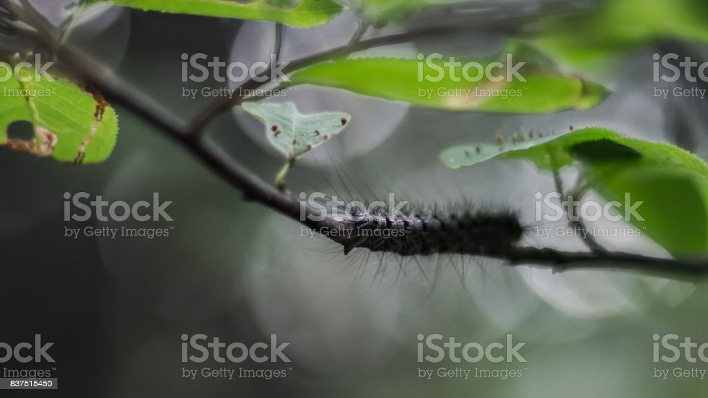 Close-up of a Gypsy Moth, or Lymantria dispar dispar, caterpillar on a stem under green leaves in the forest stock photo
