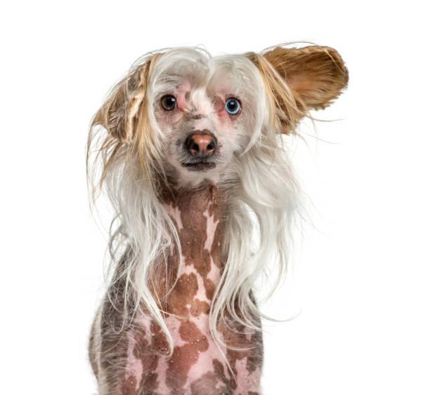 nahaufnahme von haarige shaggy chinesischen schopfhund - chinesische schopfhunde stock-fotos und bilder