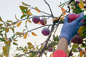 Close-up of a hand in a blue glove picking a ripe red apple from the tree, the concept of harvest