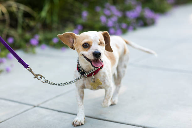 Close-up of a happy Beagle - The Amanda Collection stock photo