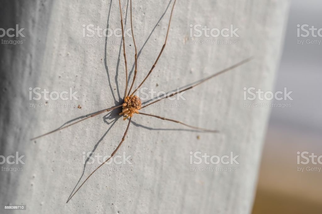 Close-up of a harvestman spider in the summer stock photo