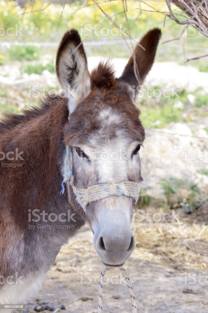 Close-up of a head of a donkey foto stock royalty-free