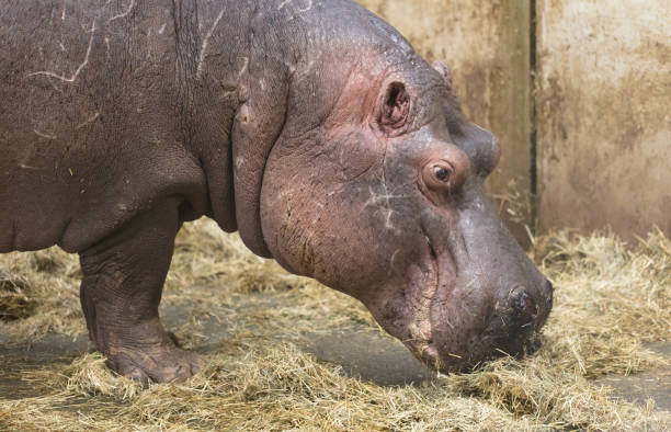 close-up of a hippo - hippo tail stock photos and pictures