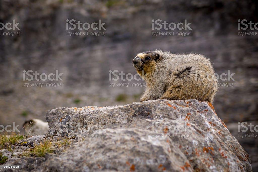 Closeup of a Hoary Marmot stock photo