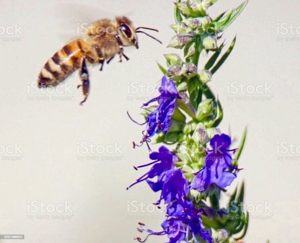Closeup of a Honey Bee in Flight to a Lavender Wildflower stock photo