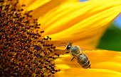 Close-up of a honey bee looking for food on a sunflower