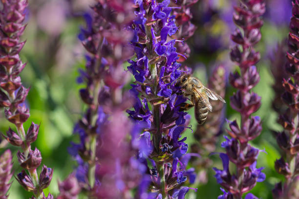 close-up of a honeybee harvesting on blue and purple sage blossoms with blurry background