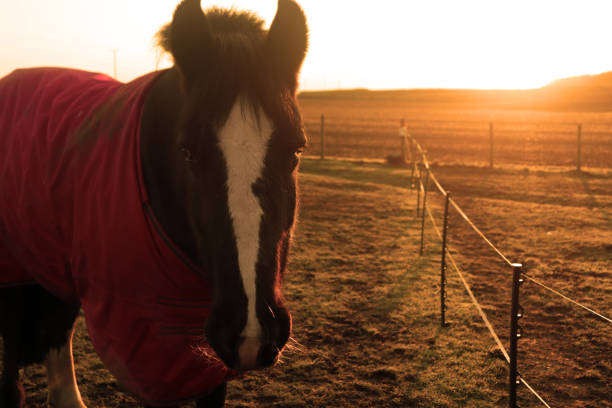 Close-up of a horse at sunrise stock photo
