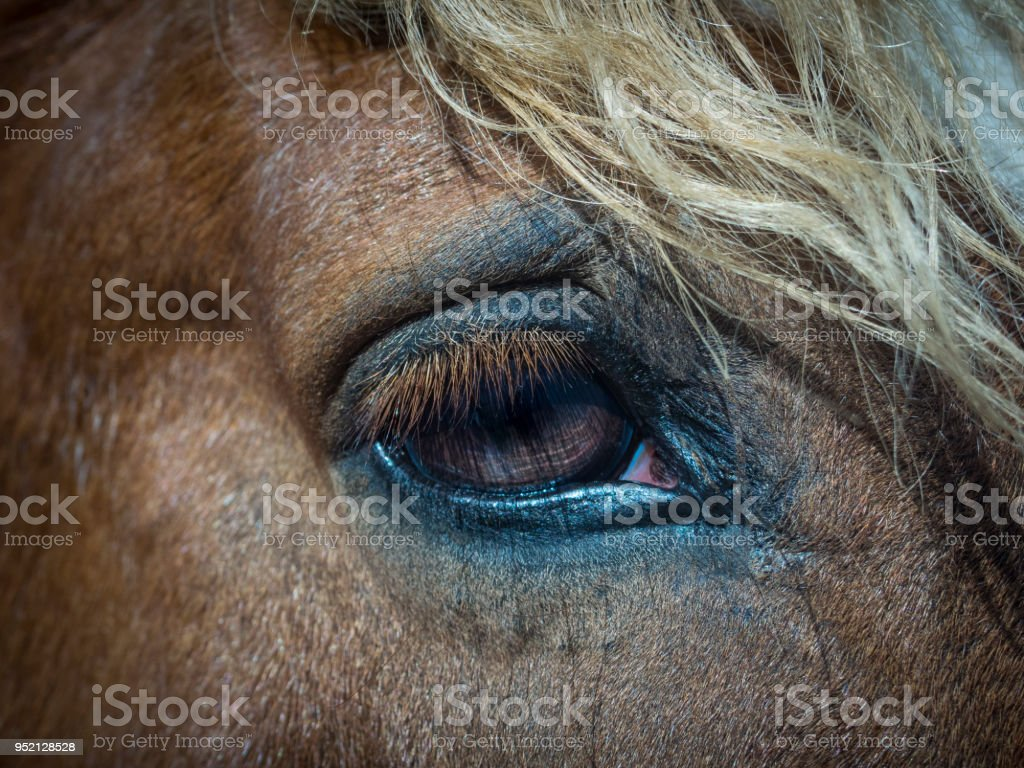 Closeup Of A Horse Eye Stock Photo & More Pictures of Anatomy | iStock
