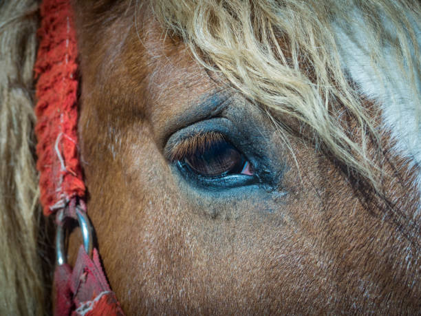 Royalty Free Horse Anatomy Animal Eye Close Up Pictures Images And
