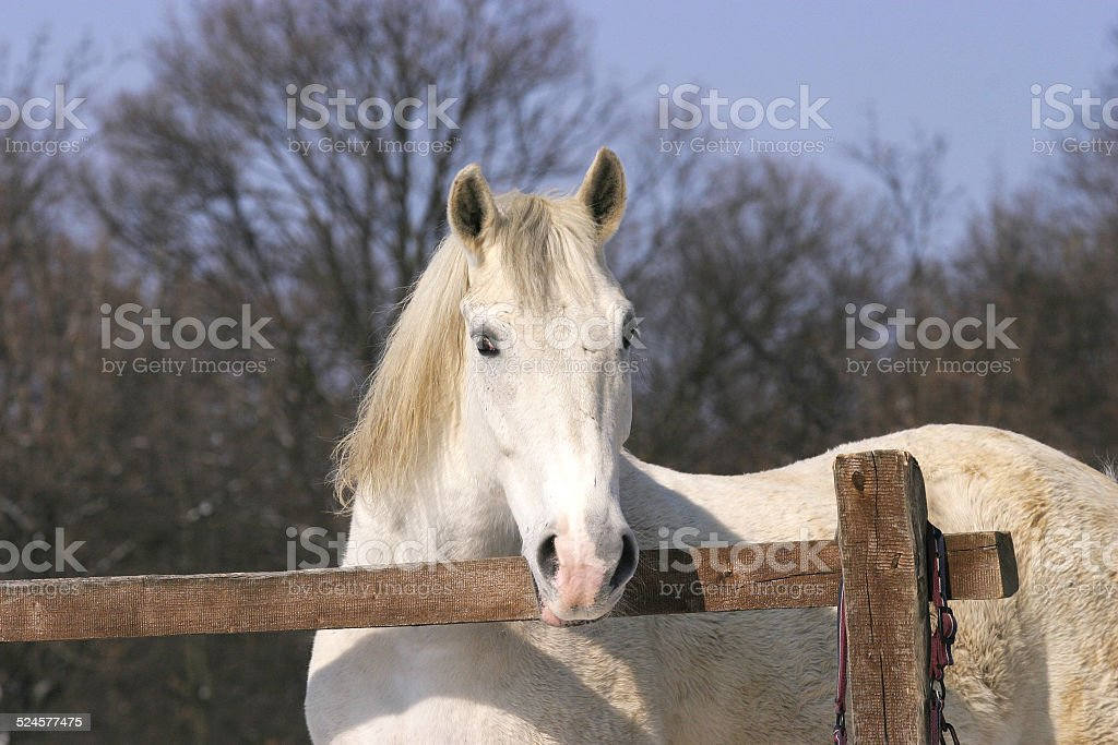 Close-up of a  horse in winter corral stock photo