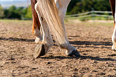 Close-up of a horse's hind legs and hooves in resting position on a horse pasture (paddock) at sunset. No horseshoes. Concepts of rest, relaxation and well-being. Background blur.