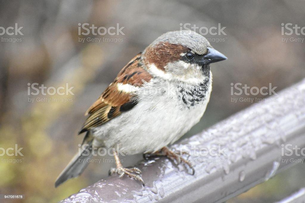 Closeup of a House Sparrow stock photo