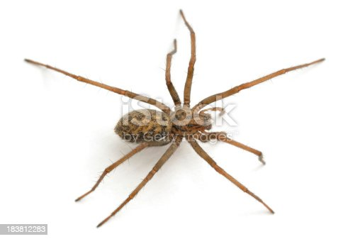 A house spider(Tegenaria domestica) from above isolated on white.