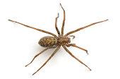 Black spider with large eyes isolated on white background